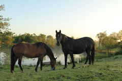 Farm horses. A couple of farm horses in front of misty lake at dawn Stock Photos