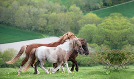 Farm horses gallopping in landscape Royalty Free Stock Images