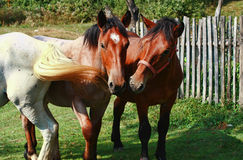 Farm Horses Grazing In the Field Stock Image