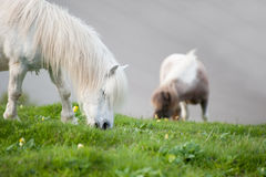 Farm horses grazing in field in Summer Stock Image