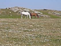 Farm horses grazing in meadow Royalty Free Stock Photos