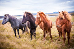 Farm horses on Icelandic fields Stock Images