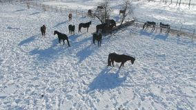 Farm horses playing on the snow stock video