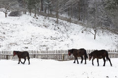 Farm horses in the snow Royalty Free Stock Photo