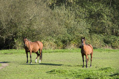 Farm horses Royalty Free Stock Image