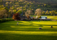 Farm house grazing sheep. British farm house in the summer and sheep grazing in the field. Image no 215 Royalty Free Stock Photography
