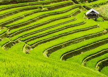 Farm hut surrounded by terraced rice fields, Northern Vietnam Stock Photo