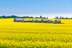 Farm huts canola field agriculture landscape Stock Photos
