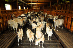 farmę kóz obraz royalty free