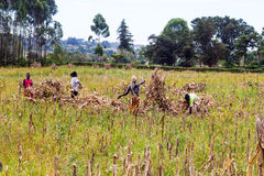 Farm Laborers. Separating maize cobs from their stalks during harvesting time royalty free stock photos