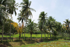 Farm land. Green farm land with coconut plants Royalty Free Stock Images