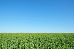 Farm Land Crops and Vivid Blue Sky. Landscape View of a Field of Agricultural Crops and Blue Sky Royalty Free Stock Photography