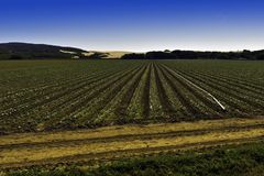 Agricultural field growing crops with sand dunes in the distance. stock images