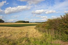 Farm land with maize crop. Summer farmland with a maize crop used for pheasant cover and woodland under a blue cloudy sky in the yorkshire wolds Stock Photo