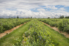 Farm Land. A farm scene with blueberry fields and land for growing fruits and vegetables royalty free stock photo