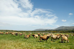 Farm landscape with Jersey cattle herd Stock Photography