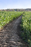 Farm Lane Through Potato Field Royalty Free Stock Image