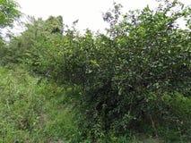 Farm lemons in Thailand Stock Images