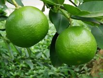 Farm lemons in Thailand Stock Photo