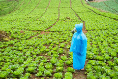 Farm lettuce on a rainy day Stock Image