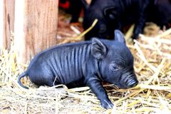 Farm life. Cute Baby pig Royalty Free Stock Images