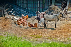 Farm life - Goat and chicken in the stall Stock Image