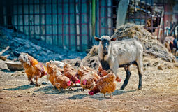 Farm life - Goat and chicken in the stall Stock Photos