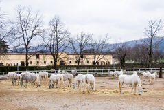 Farm with Lipizaner horses Royalty Free Stock Image