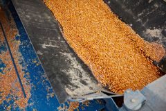 Farm machine filled with fresh maize kernels Royalty Free Stock Photography