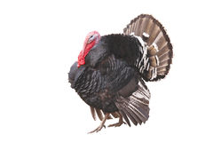 Farm male turkey Stock Photos