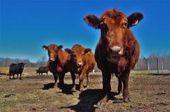 Schultz Cows Photo -  6 stock images