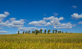 Farm. Mature corn in the farm Royalty Free Stock Photography