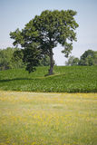 Farm Meadow with Corn Royalty Free Stock Image