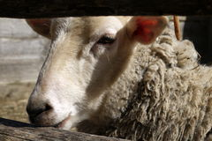 Farm: merino sheep head Stock Image