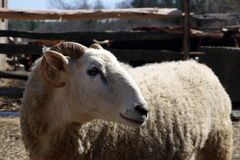 Farm: merino sheep side head Royalty Free Stock Image