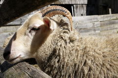 Farm: merino sheep side head horn Stock Photo