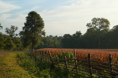 Farm morning. At tak province, thailand Royalty Free Stock Images