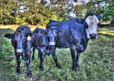 Farm mother cow and calves. Black cows, mother cow with two calves royalty free stock photo
