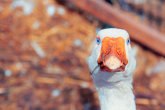 The farm near the city center. The goose on the farm not far from the city Royalty Free Stock Photo