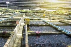 Farm nursery Ornamental fish freshwater in Recirculating Aquaculture System. Royalty Free Stock Image