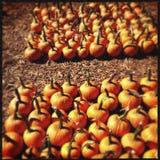 Farm of orange pumpkins Stock Photo