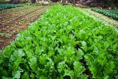 Farm of organic vegetables Stock Image