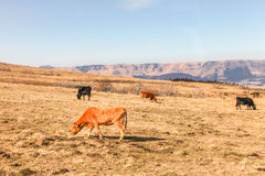 Farm and Pasture in Japan, Winter Royalty Free Stock Image