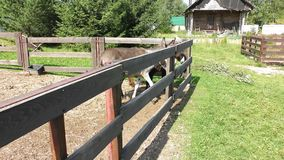On the farm, in the pen drive donkeys. Curious donkeys peek out from the farm pen on a summer day stock video