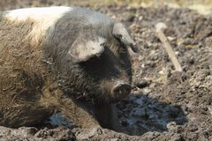 Farm pig Royalty Free Stock Image
