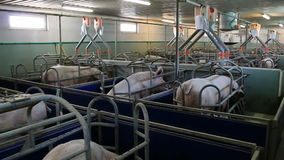 Farm for pig breeding. Pig farm for the production of genetic resources in animal husbandry,video clip stock video footage