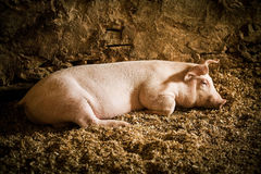 Farm pig. Clean farm pig in the dirt Royalty Free Stock Photo