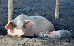 Farm Pig with a piglet resting in a mud Stock Photo