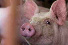 The farm pig ,walking in the sty, look like sad, can`t go outsid. E royalty free stock photo