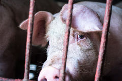 The farm pig ,walking in the sty, look like sad, can`t go outsid Royalty Free Stock Images
